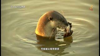 前线追踪   水獭偏爱鱼头?