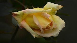 Розы цветут.   А знаете почему цветут мои розы?