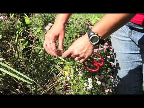 How to Prune & Clip Garden Mums : Gardening With Mums