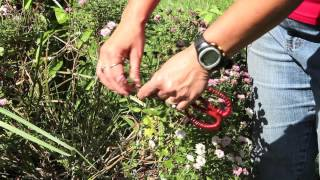 How to Prune & Clip Garden Mums : Gardening With Mums