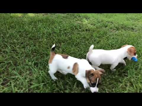 AKC & EJRTCA Jack Russell Terrier Puppies