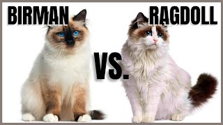 Birman Cat VS. Ragdoll Cat