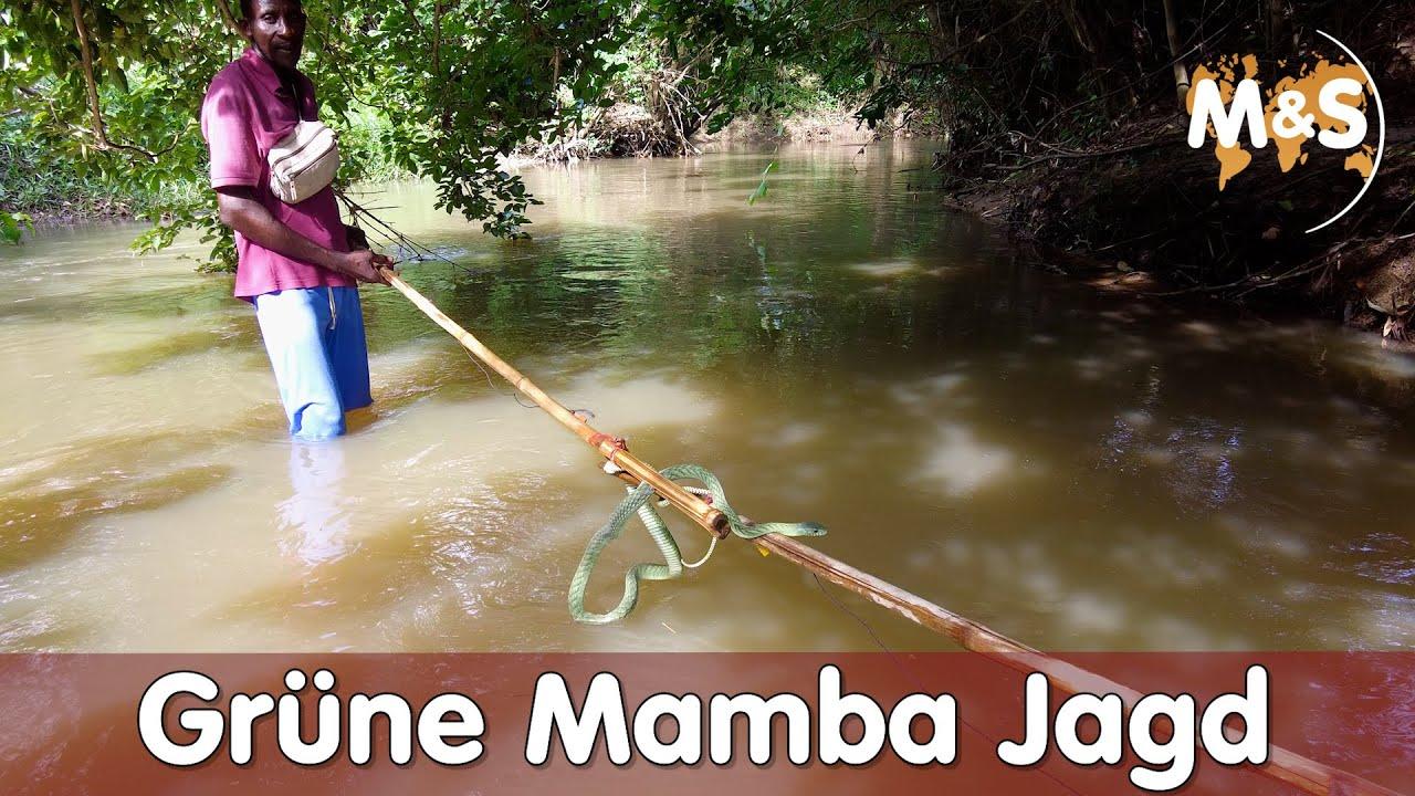 Grüne Mamba Jagd im Fluss von Togo   Afrika 2021   Reptil TV