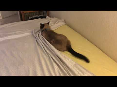 "My Siamese Cat ""Helping"" Make the Bed 😂"