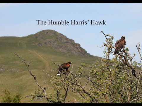 Hunting with The Humble Harris' Hawk