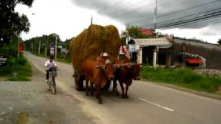 Oxen Pulling A Hay-Wagon in Ba Ria