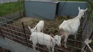 あざま港フェリー乗り場近くにいたヤギの親子とウサギ。