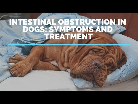 Intestinal Obstruction In Dogs: Symptoms And Treatment