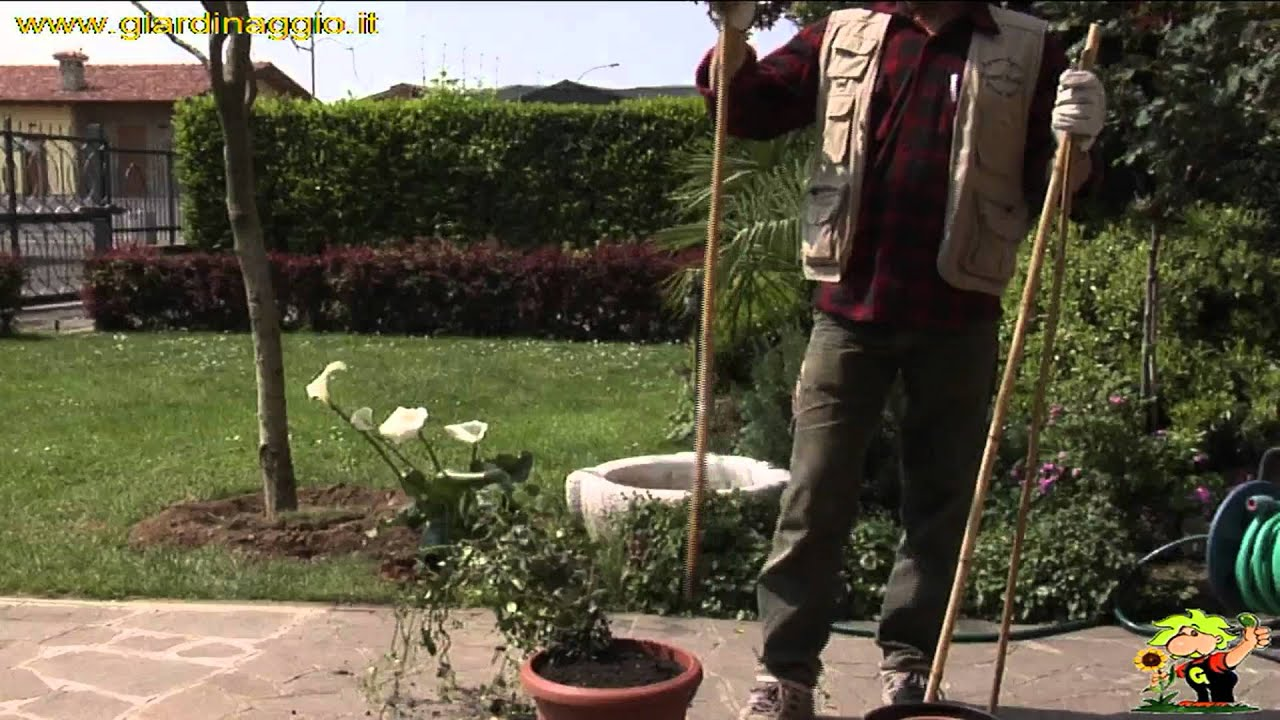 Rosa Rampicante In Vaso coltivare un rampicante in vaso