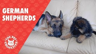 Breed All About It: German Shepherds