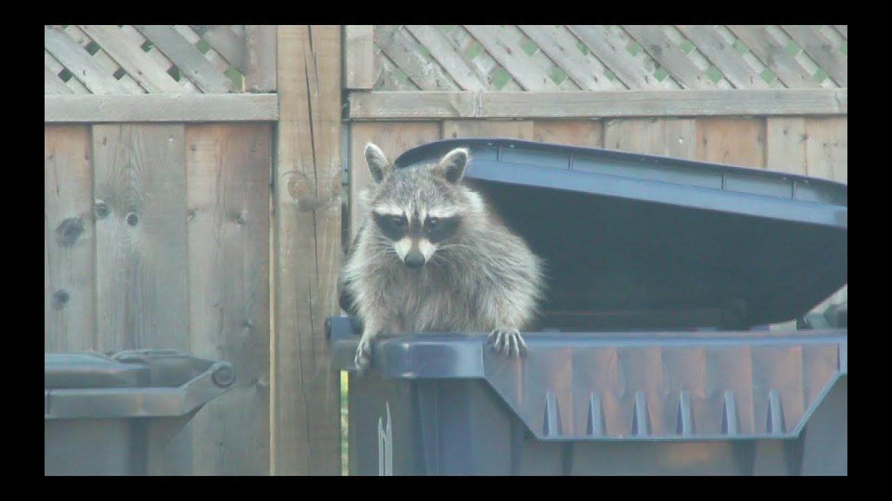Raccoon Going Through Trash Bins