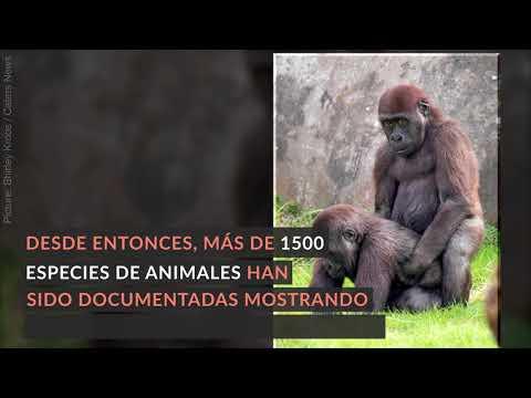 Pareja de Gorilas Gay | Homosexualidad Animal