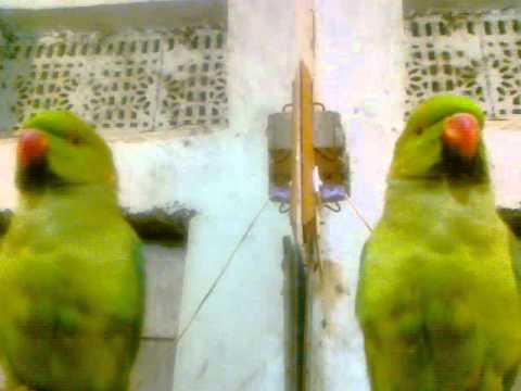 Talking Parrots .papo--{naveeda007}.mp4