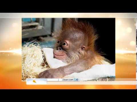 Baby Orangutan BORN at Atlanta Zoo | Baby Orangutan Smiles for Cameras After Risky Birth