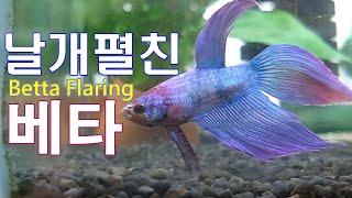 마트 수족관 물고기 영상 베타 플레어링 어항 Korea…