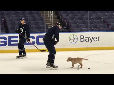 Vic Porcelli - St. Louis Blues' Adopted Puppy Hits the Ice