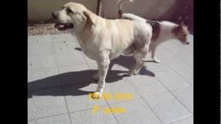 Fisioterapia-Veterinária-Reabilitação-Animal-Labrador-Ramela