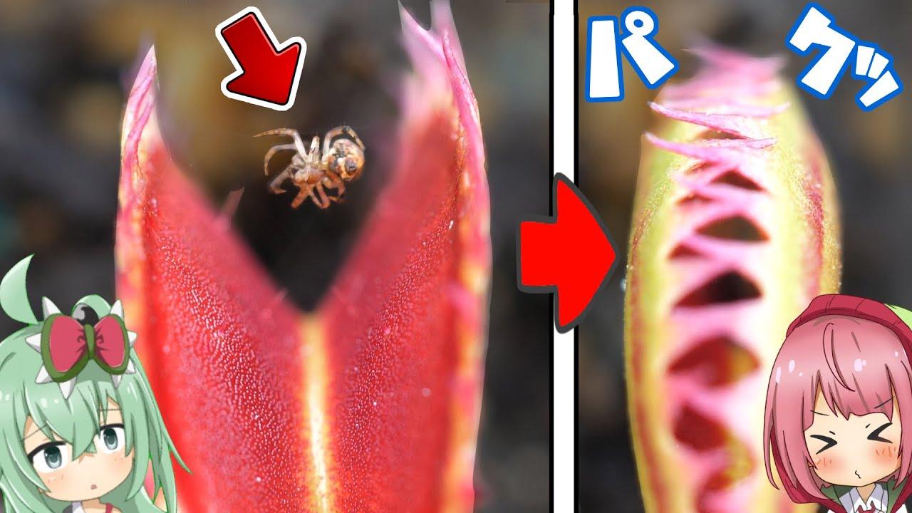 クモが食虫植物の口の中に巣を作った結果...。ハエトリソウの獲物を横取りしようとするクモさん【食虫植物TV】
