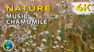 4K UHD. Ромашки в поле, красивое видео, поле с ромашками, полевая ромашка, релакс, музыка
