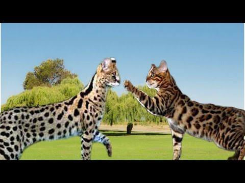 Savannah Cat vs Bengal Cat - Understanding The Differences