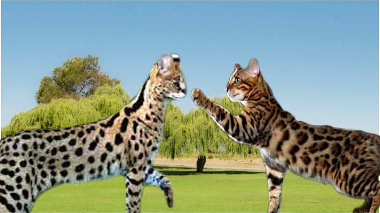Savannah Cat vs Bengal Cat - Understanding The Differences - YouTube
