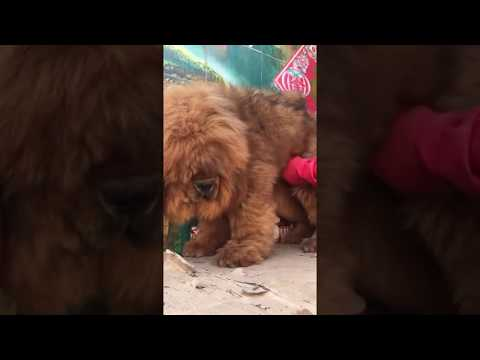 red male tibetan mastiff $6,000
