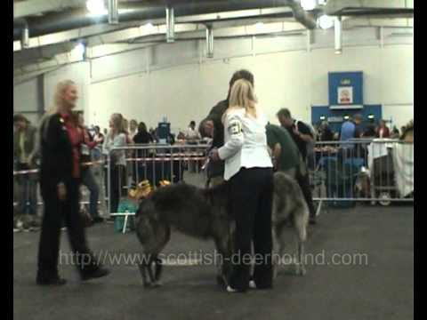 Deerhound Best of Breed, Best Puppy and Brace Classes SKC 2008