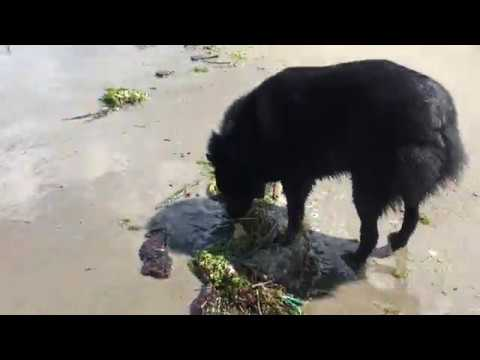 Schipperke dog hunts the elusive marine strawberry