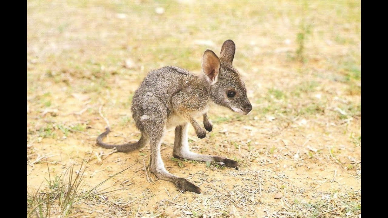 Image result for cute pictures of baby kangaroos