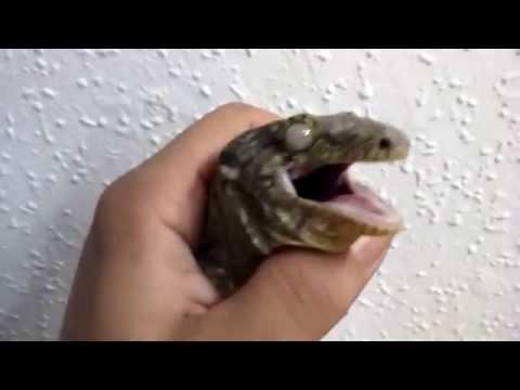 Screaming angry rhacodactylus leachianus .......LEACHIANUS ENFADADO. OIRLO...