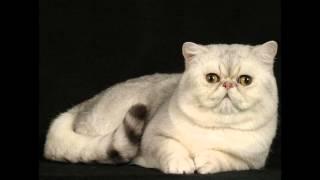 Экзот, или экзотическая короткошерстная кошка (Exotic shorthair cat) породы кошек( Slide show)!