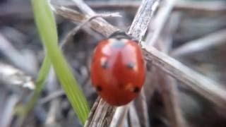Божья Коровка жук, ladybug, ladybird beetle (увеличение, zoom, macro close)(божья коровка, божьи коровки, солнышко, красный жук, жук божья коровка, жук, жук солнышко, жук сонечко, ladybug,..., 2016-10-04T13:15:51.000Z)