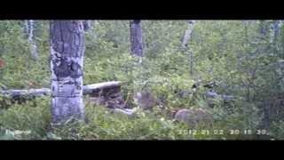 Кугуар cougar
