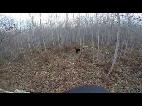12 Month Old Pointing Lab Grouse Hunting