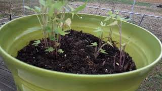 How to Grow Swęet Potatoes   The Quick & Easy Way to Get Them Started   Gardening for Beginners 2021