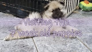 Visiting the 7 week old keeshond puppies