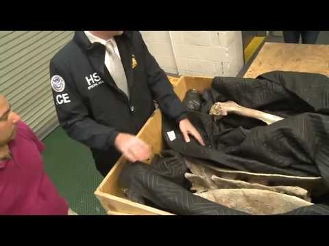 Tyrannosaurus Skeleton Seized By US Immigration and Customs Enforcement Returned to Mongolia