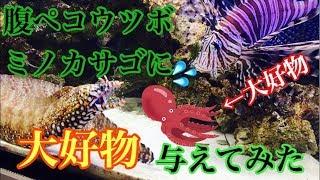【アクアリウム】腹ペコトラウツボ、ミノカサゴに大好物与えてみた【大型海水魚水槽】