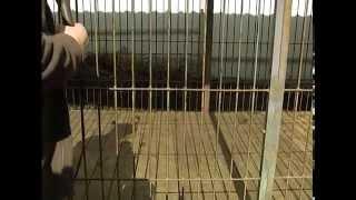 "Самая дорогая собака в мире Тибетский Мастиф питомник ""Lion Heart"""