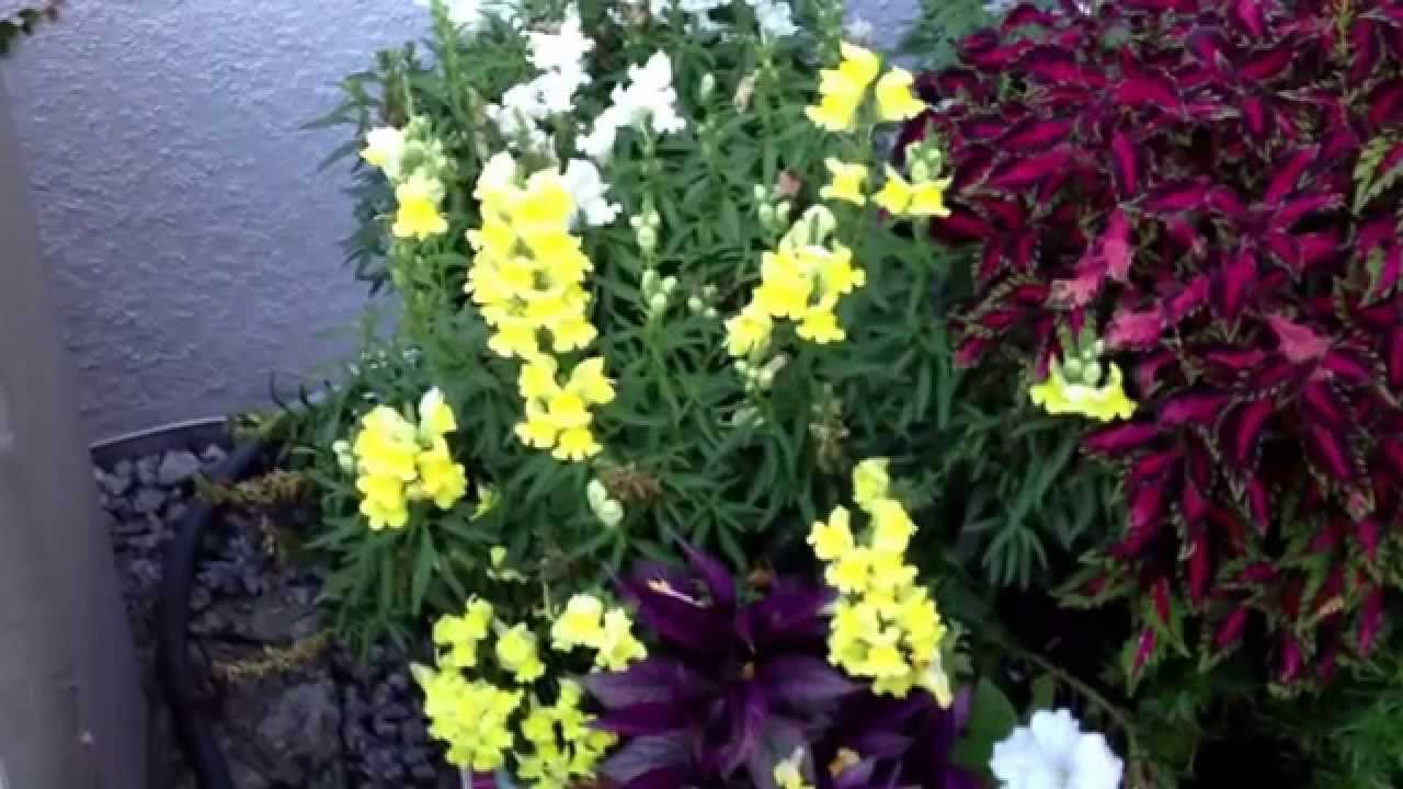 snapdragons in florida cool weather annual lasts til july youtube