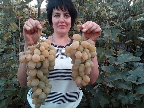 Осенние  сорта  винограда.Часть коллекции.