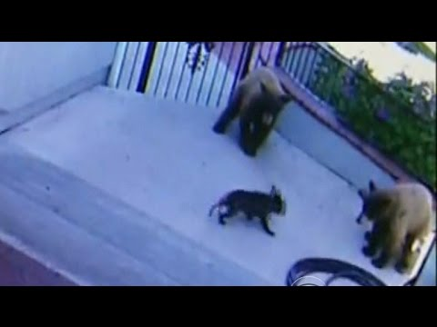 Feisty French Bulldog Chases Bears Away From Calif Home Youtube