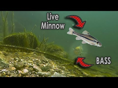 Do Bass Actually Eat Minnows?? | GoPro Live Shad Footage