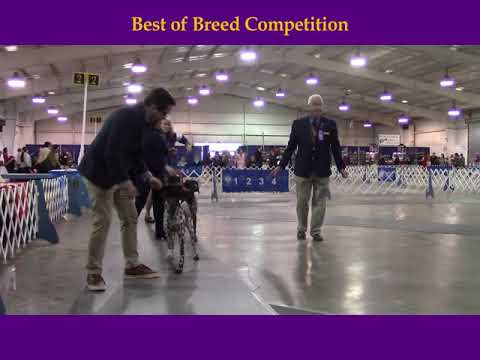 3-24-2019 Jackson Tennessee Dog Fanciers Association - German Shorthaired Pointers