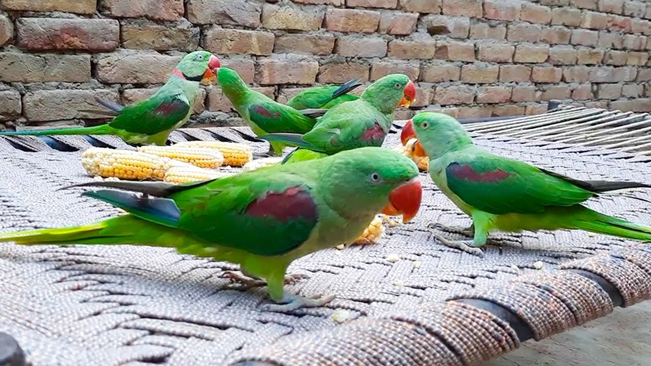 Talking Parrots Eating Corn On Charpai In Morning Time