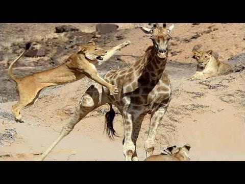 """► """"KNOCKING GIRAFFES"""" (Lions Documentary) - National Geographic WILD   HD thumbnail"""
