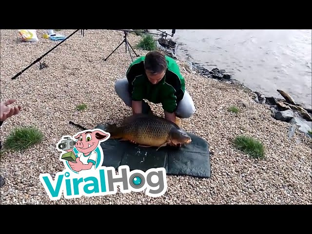 Carp Escapes From Fisherman