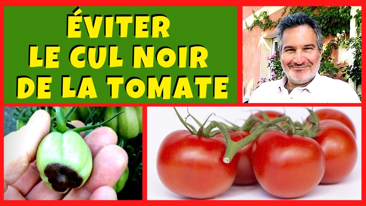 Tomate : comment éviter le cul noir (ou nécrose apicale) ?