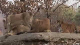 who wins tiger vs lion