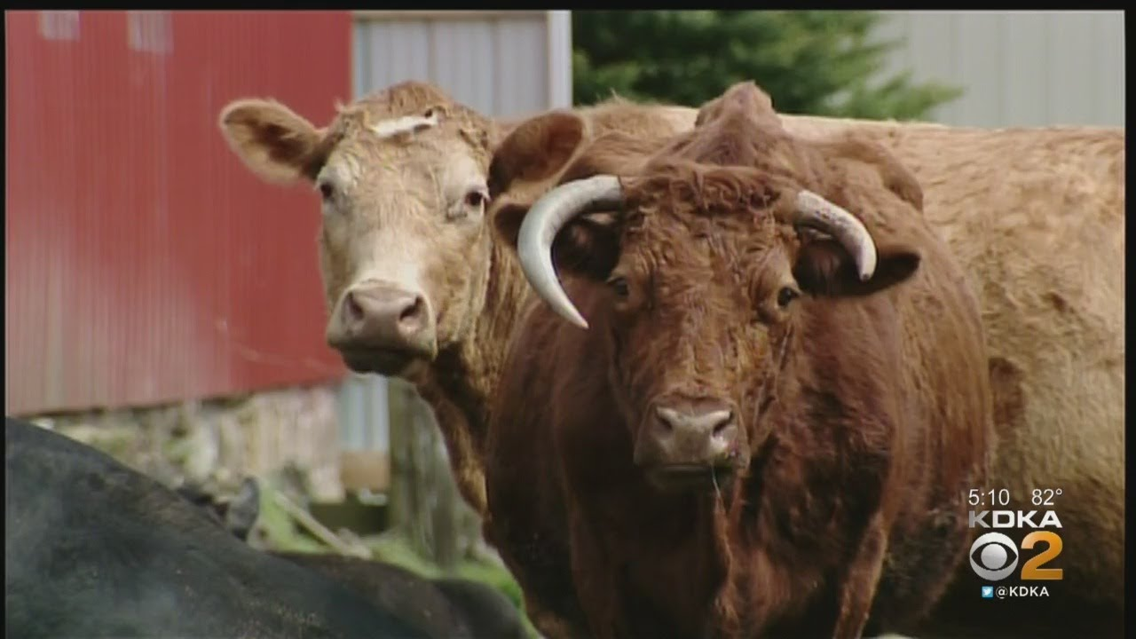 Police Trying To Track Down Runaway Cows